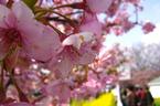 伊豆 河津 桜 まつり さくら