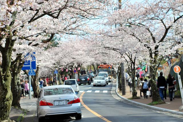 伊豆 伊豆高原 桜 さくら 桜並木 桜の里